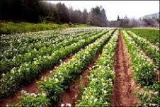 دانلود مقاله کشت مخلوط و بکارگیری آن در سیستمهاي کشاورزی